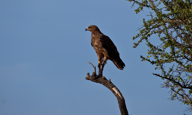 A Tawny Eagle perches in the branches of an Acacia tree. Serengeti National Park, Tanzania