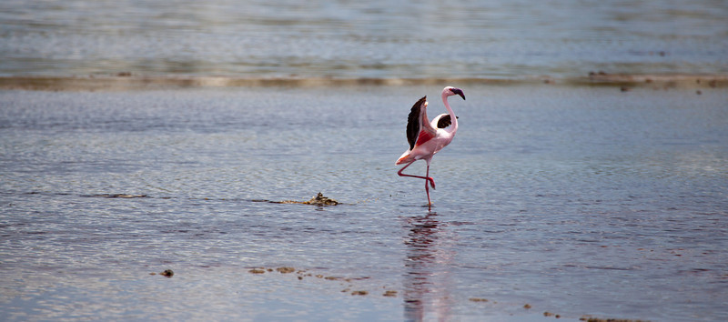 A Greater Flamingo comes in for a landing on a lake in Serengeti National Park, Tanzania