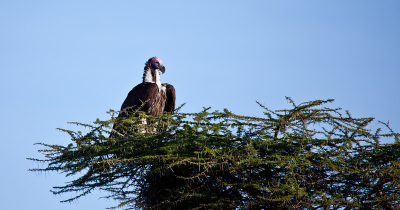 A  Lappet-faced Vulture sits in a tree waiting for a fresh killl to scavange. Serengeti National Park, Tanzania.