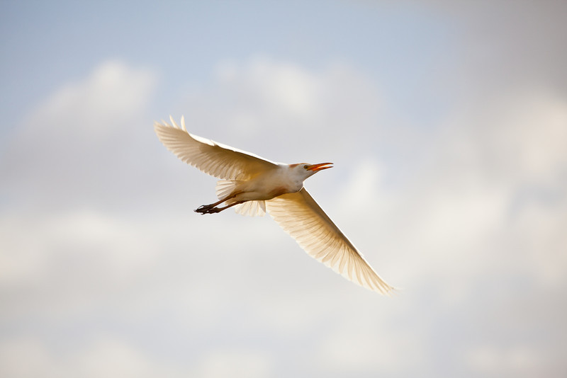 A cattle Egret in flight over the African Savannah. Serengeti National Park, Tanzania