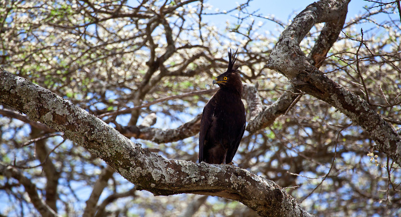 A Long-Crested Eagle searches for prey from the branches of an Acacia tree. Serengeti National Park, Tanzania