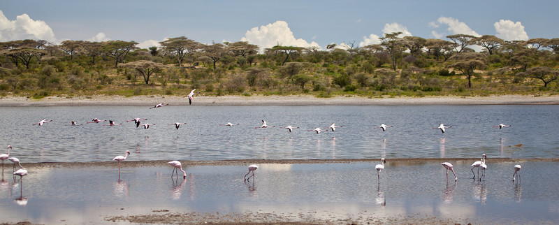 Flamingo wobble their legs as they look for the shell fish that give them their color. Serengeti national Park, Tanzania
