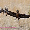 This photo is of a Tawny Eagle and a Bateleur. The Tawney had just killed and was eating a lizard. The Juvinile Bateleur came along and after watching for a while got too close, upseting the tawney.