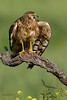 Hembra de Aguilucho cenizo (Circus pygargus)- Montagu's Harrier