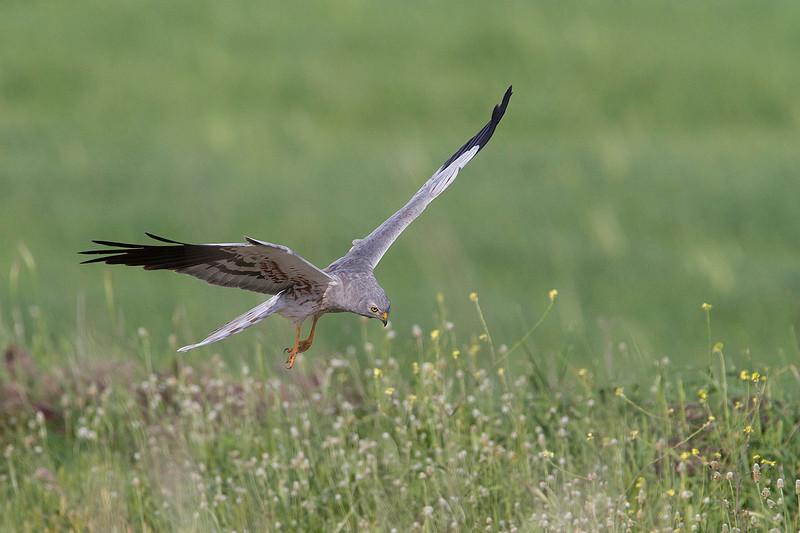 Macho de aguilucho cenizo (Circus pygargus)<br /> Male Harrier patrolling on the meadow