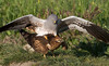 Montagu's harrier copulation. See original size<br /> Cópula del aguilucho cenizo en el margen de un campo de cultivo.