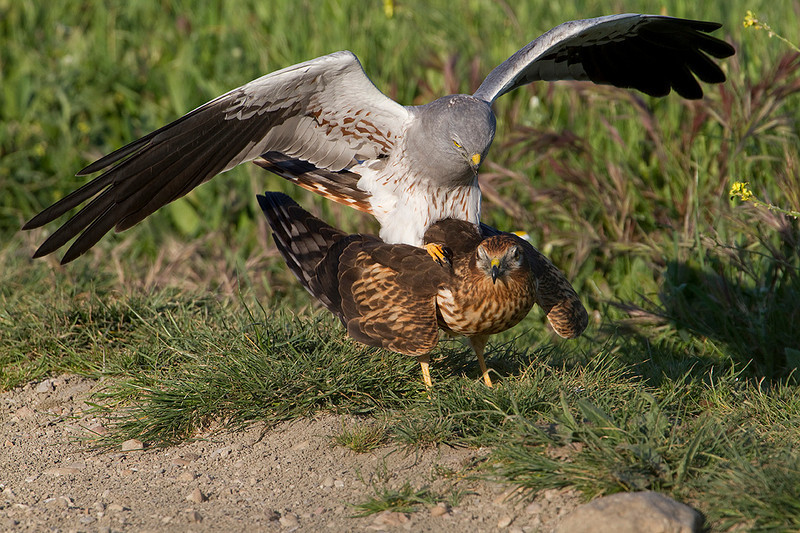Montagu's harriers. Advantages of giving prey chicks to females.<br /> Previously the male had transferred the prey to the female in the air.