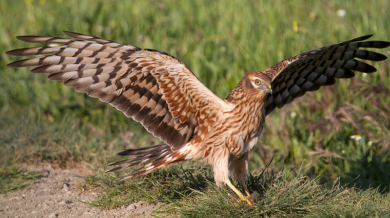 Female Montagu's Harrier Landing with a prey chick