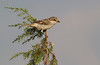 Alcaudón común (juv) (Lanius senator) Woodchat Shrike