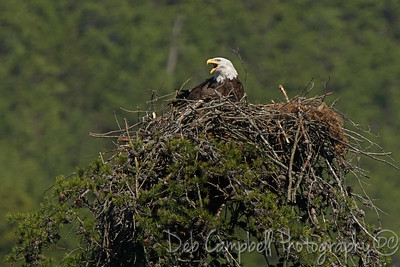 Ama-Bald Eagle Nest