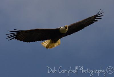 Female Bald Eagle in Flight Windy Hill Farm Loudon County, Tn