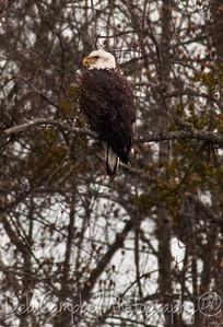 American Bald Eagle Chilhowee Lake Blount Co. Tn