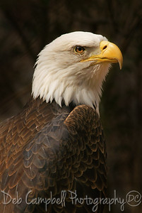 Portrait of American Bald Eagle Captive Knoxville Zoo