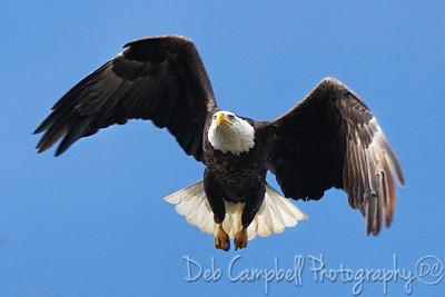 American Bald Eagle (male)