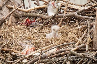 Loudon Bald Eagle Nest~2016