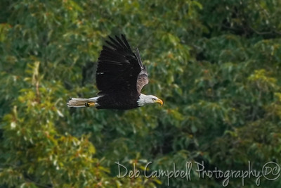 American Bald Eagle Fly-over