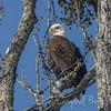 Townsend Bald Eagle