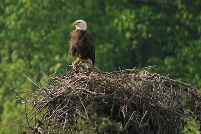 American Bald Eagle Ami