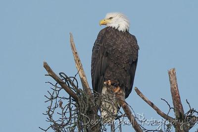 American Bald Eagle (female)