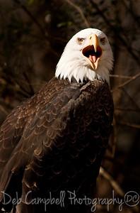 American Bald Eagle Screeching Captive Knoxville Zoo