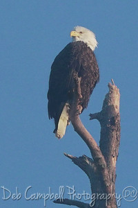American Bald Eagle (female)