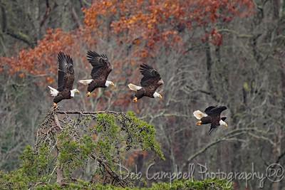 Bald Eagle Sequence Photomerge