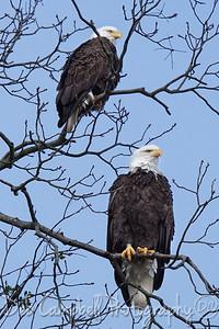 American Bald Eagle (Mating Pair)