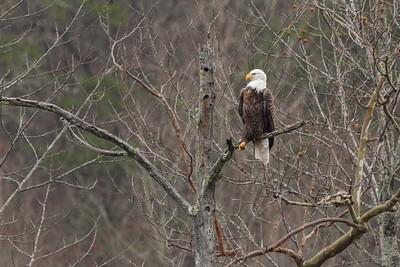American Bald Eagle (female) Ama