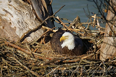Loudon Bald Eagle Nest~2016