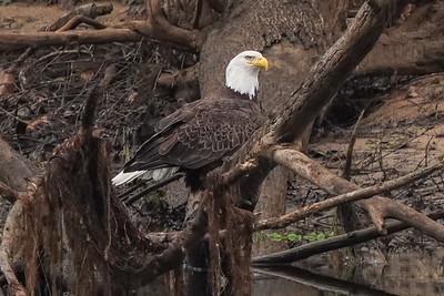 American Bald Eagle (male) Oco