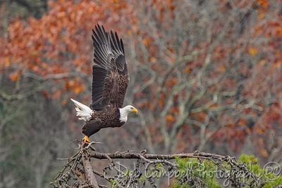 Bald Eagle Liftoff!