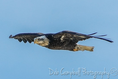 Sub-Adult Bald Eagle (4 year)