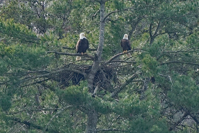 American Bald Eagle pair at nest