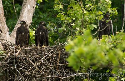 Loudon Bald Eagle Nest~2012