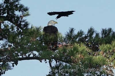 Crow divebombing an Eagle