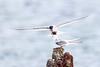 Arctic Tern Feeding Young