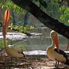 Pelecanus conspicillatus, Australian Pelican. Territory Wildlife Park, NT, Australia. March 2009