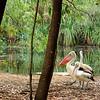 Pelecanus conspicillatus, Australian Pelican. Territory Wildlife Park, NT, Australia. May 2008