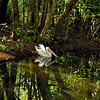 Pelecanus conspicillatus, Australian Pelican. Territory Wildlife Park, NT, Australia. April 2007