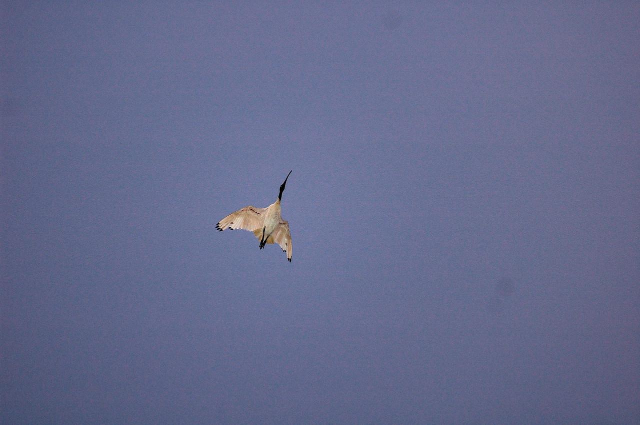 Threskiornis molucca, Australian White Ibis. Rapid Creek, Darwin, NT, Australia. November 2009