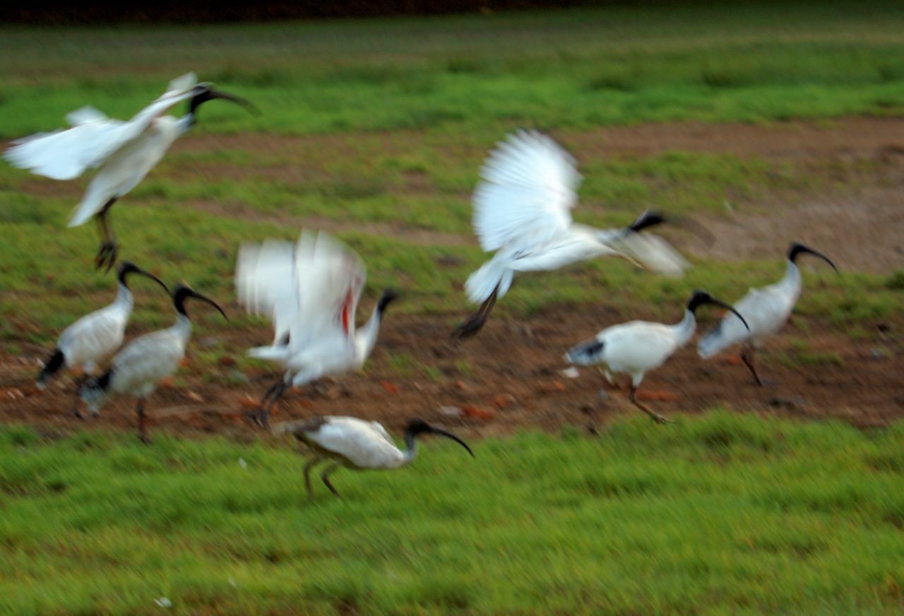 Threskiornis molucca, Australian White Ibis. Fogg Dam Conservation Reserve, NT, Australia. November 2009