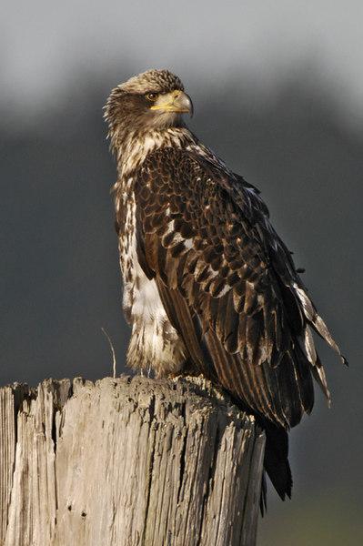 5529 Eagle