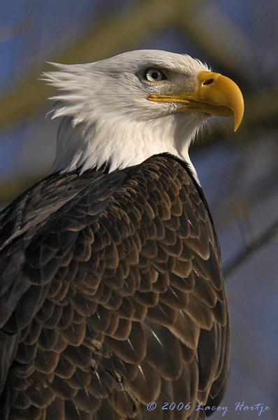 7983c Bald Eagle ATWB