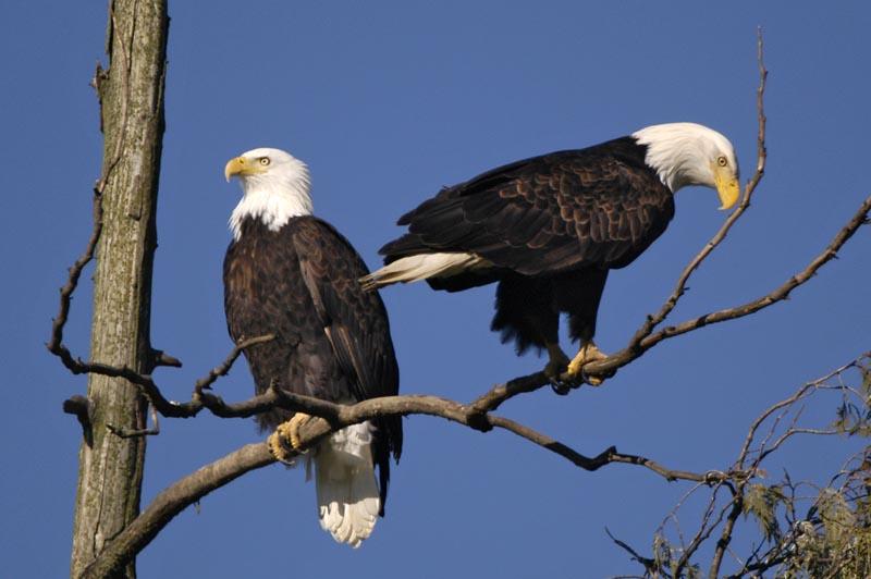 6684 Bald Eagles