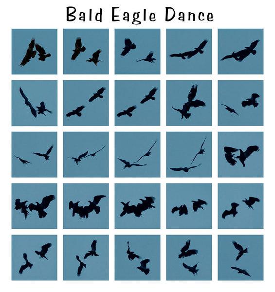 Bald Eagle Mating Dance II