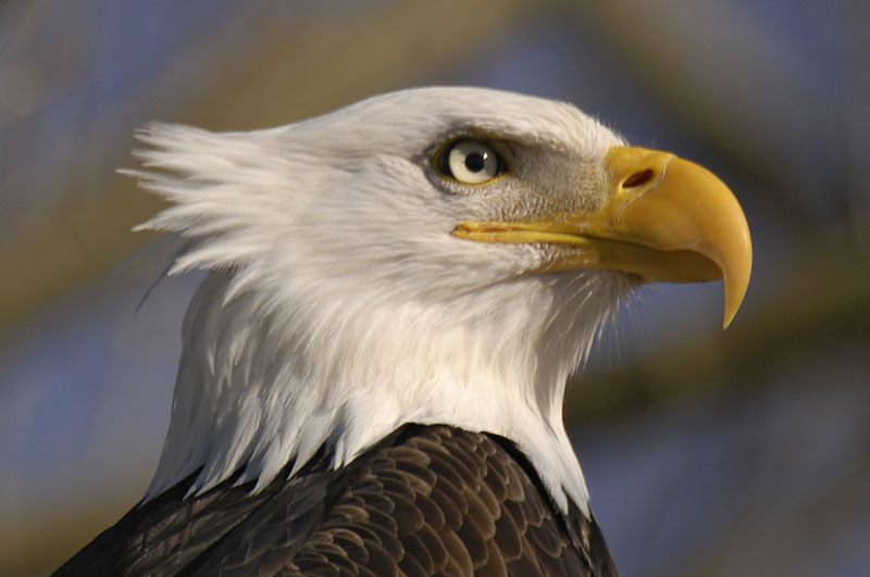 8041 Bald Eagle close-up