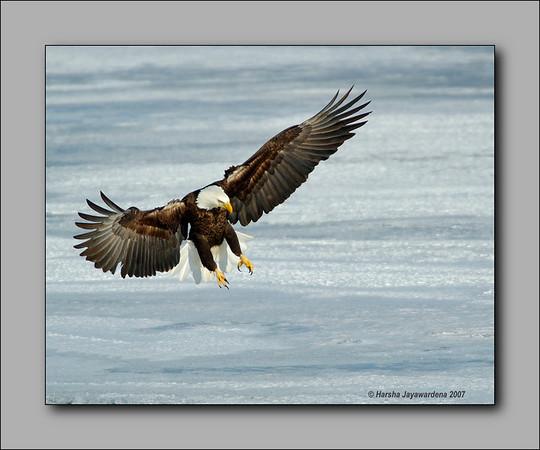 bald eagles fishing at Mississippi River