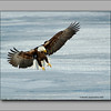bald eagles fishing at Mississippi River