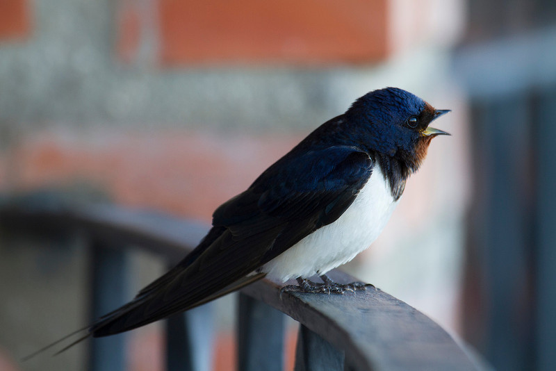 Swallow singing