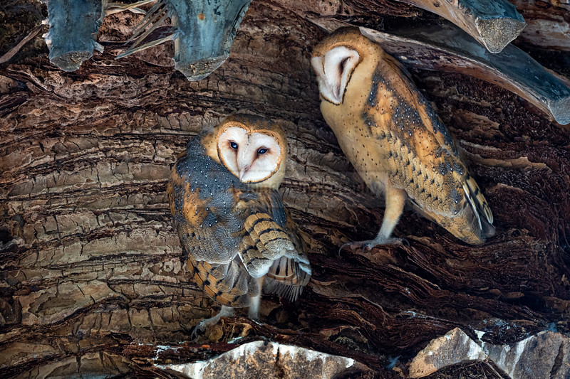 Barn Owls in a Palm Tree